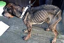 Třináctiletý kříženec německého ovčáka Mikeš krátce předtím, než ho Barbora Tocauerová převezla na veterinární kliniku.