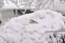 Čápi v Bartošovicích před sněhovou kalamitou, a po ní, kdy kolem hnízda napadlo i čtyřicet centimetrů sněhu.