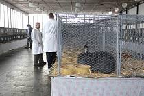 Základní organizace Českého svazu chovatelů v Bílovci v sobotu pořádala králičí trh.