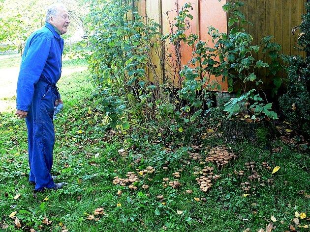 Stovky václavek rostou v těchto dnech na zahradě Jana Bezděka v Janovicích, místní části Starého Jičína.