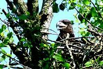Novojičínská policie prošetřuje případ neoprávněného pokácení stromů, přičemž na jednom z nich hnízdil chráněný orel mořský.