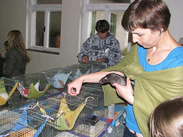 Iveta Miková se věnuje chovu potkanů již zhruba osm let. Nedávno založila ve Štramberku chovnou stanici.
