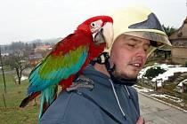Nádherně zbarvené mládě papouška rodu Ara pomáhali v neděli 22. února jeho majiteli (na snímku) stáhnout z větví stromů novojičínští hasiči.