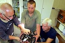 Za velký úspěch považují pracovníci bartošovické záchranné stanice vypuštění orlice Toničky po čtyřech letech rehabilitace do volné přírody. Na snímku jí právě instalují vysílačku na tělo.
