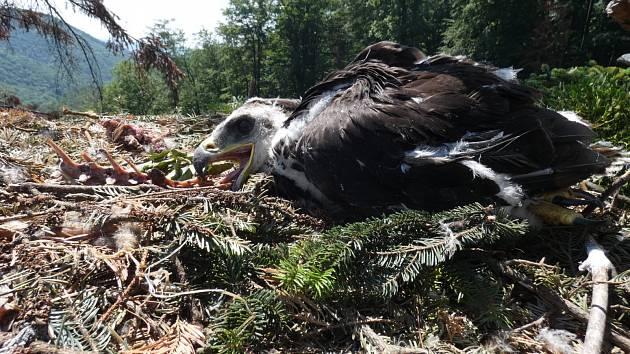 Orlí slečně Elišce se zatím daří výborně. Mrtvé mládě leželo pod hnízdem.
