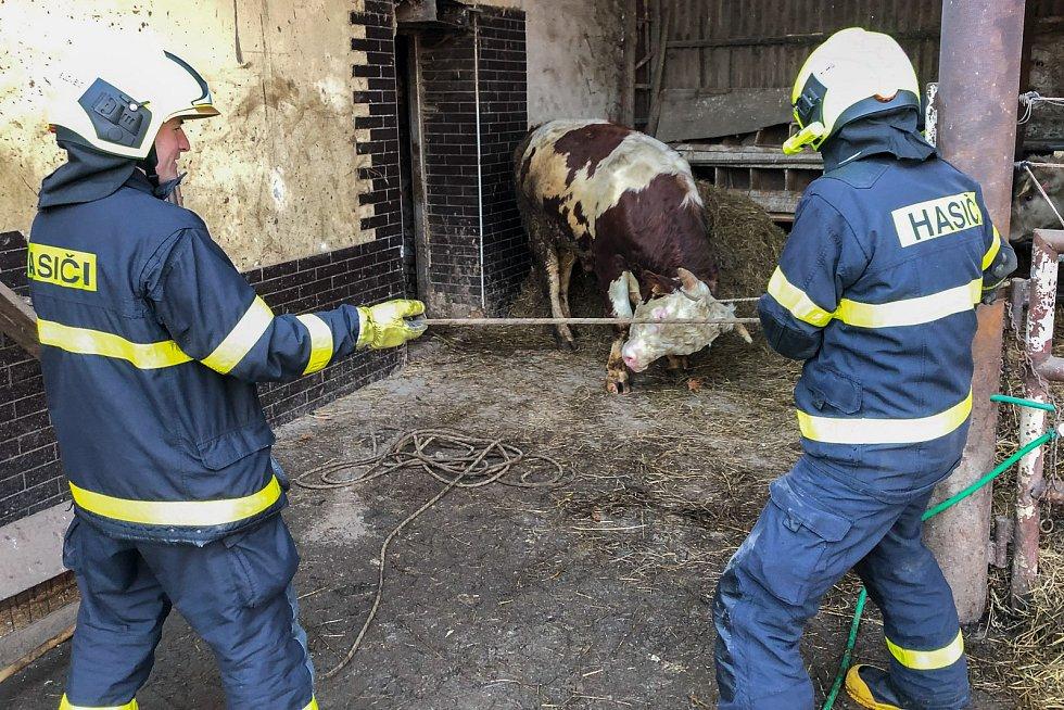 Cvičení hasičů v Bílovci je zavedlo mezi statné býky.