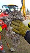 Puštík obecný poté, co ho hasiči vysvobodili z okapové roury.