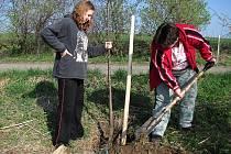 Obyvatelé Fulneku a okolí zasadili v sobotu mladé stromy třešní a švestek, které doplní přestárlou alej podél cesty na jestřabský hřbitov.