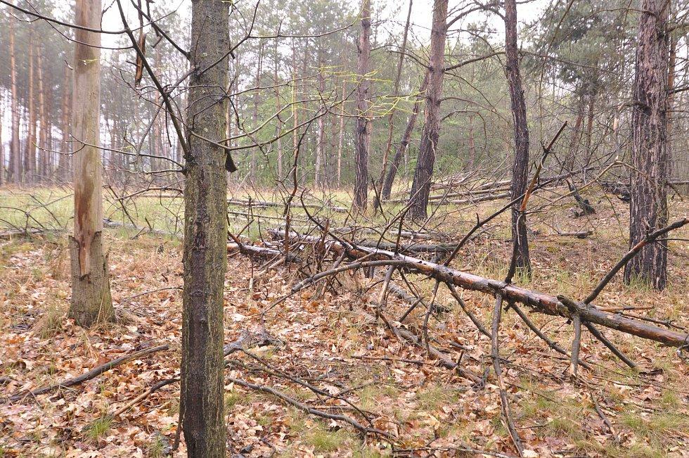 Miliony chroustů se právě rojí v lesích Moravské sahary na Hodonínsku. Spásají listy stromů a kladou do půdy vajíčka. Larvy ohrožují na osm tisíc hektarů lesa. Postřik však zatrhli ochránci přírody. Lesníci označili stav za kalamitní.