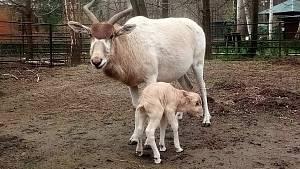 Narození mláděte adaxe núbijského v hodonínské zoologické zahradě.
