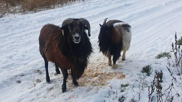Zvířata vyfocená o víkendu přímo za kyjovskou místní části Bohuslavice u silnice třetí třídy číslo 432 ve směru Koryčany.