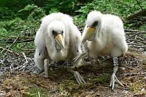 Čáp černý hnízdí v Bzenecké Doubravě. Na snímku jsou mláďata.