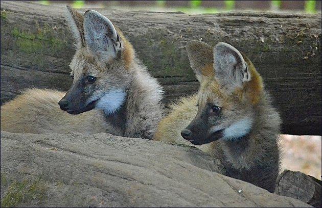 Vlci hřivnatí vhodonínské zoo.