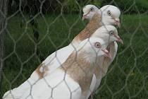 37. ročník výstavy holubů, drůbeže a králíků v Bzenci.