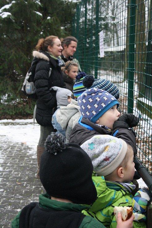 Vánoce slavila i zvířata v hodonínské zoo. Šimpanzi a tygr tam dostali speciální zabalené krmení.