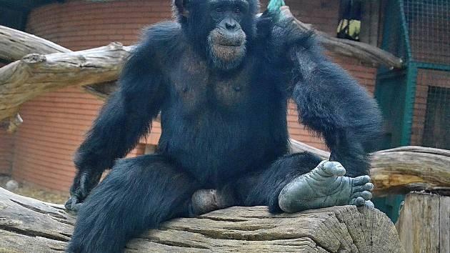 Oblíbený šimpanz Sherley opustil Zoo Hodonín. Novým domovem se mu stane zahrada v Číně.