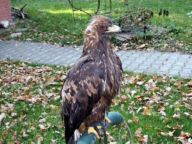 Nový přírůstek v Hodonínské zoo, samec orla skalního.