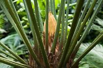 Cycas javana ve skleníku hodonínské nemocnice.
