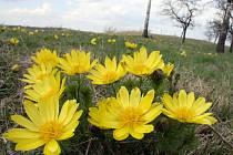 U Milotic se nachází nejbohatší lokalita hlaváčku jarního na našem území.