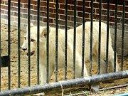Jihoafrický lev v hodonínské zoo. Ilustrační foto.