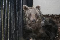 Medvědice Babeta v hodonínské zoo.