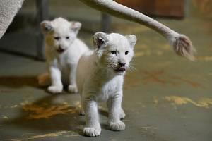 Mláďata lva jihoafrického se narodila 19. srpna 2020.