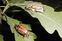 Škůdce chroust maďalový likviduje bzenecké lesy.