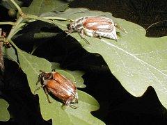 Škůdci chroust maďalový likviduje obnovu bzeneckého lesa.