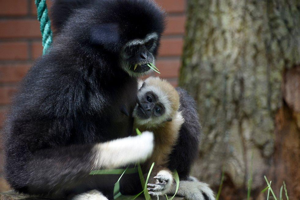 Noví giboni se zabydleli a jsou k vidění ve venkovním i vnitřním výběhu hodonínské zoo.