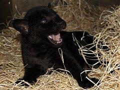 V hodonínské zoo se narodilo mládě jaguára. Má netypické černé zbarvení.