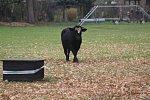 Býk utekl z jatek, naháněl ho i vrtulník. Mohl ohrožovat lidi, tak ho zastřelili