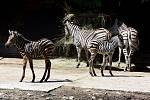 Tři mladé zebry Chapmannovy v hodonínské zoologické zahradě.