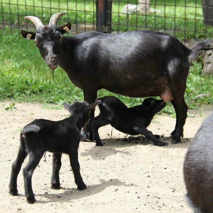 Dvojice malých koz kamerunských jsou prvními mláďaty v hodonínské zoo po tornádu.