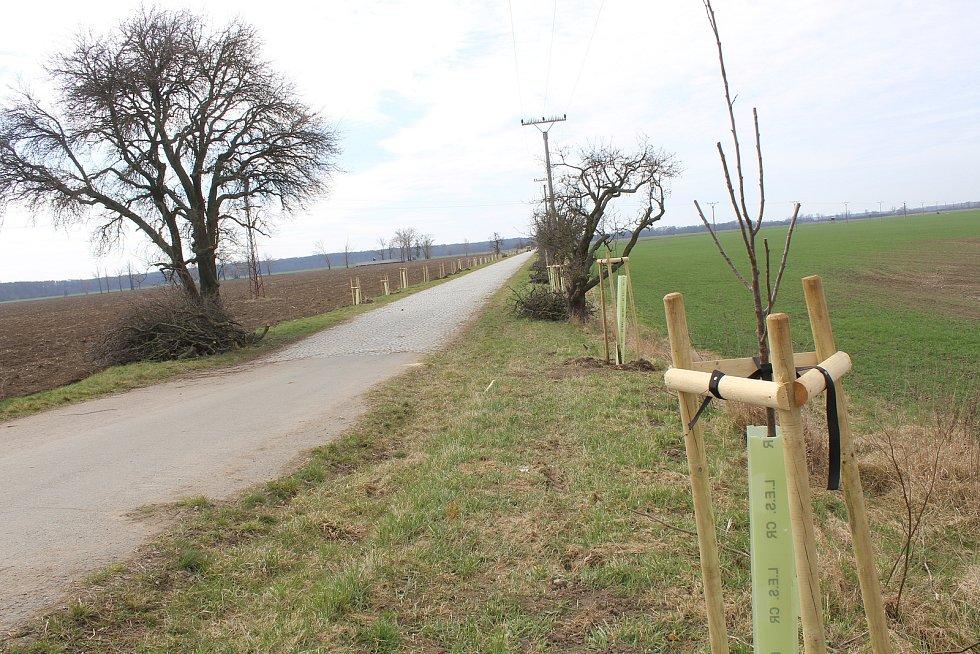 Nová výsadba ve stromořadí na hodonínském Nesytu ve směru na Lužice a Mikulčice.
