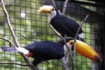 Tukan obrovský se už po dva roky honosí titulem Nejkrásnější pták hodonínské zoo.