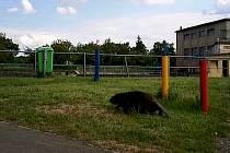 Postarší bobr u řeky Moravy.