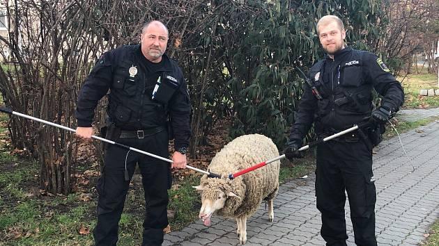 Ovce utekla do hodonínských ulic. Strážníci ji dopadli.