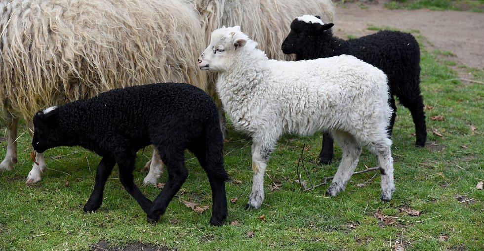 Ovce valašské přivedly na svět v hodonínské zoologické zahradě na jaře čtyři jehňátka.