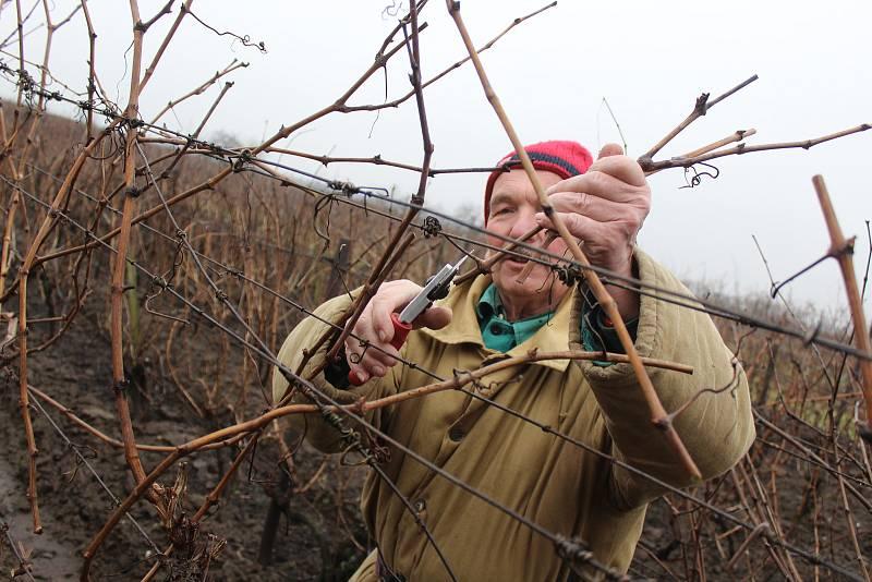 Únorový řez révy vinné u ratíškovického Slavína.