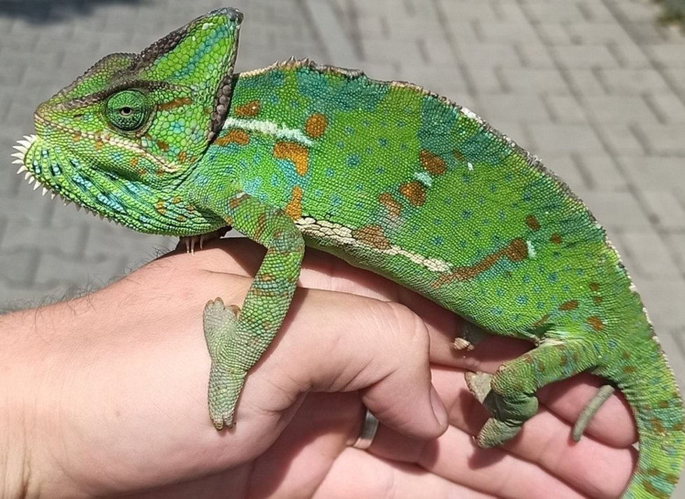Odchycený chameleon v ulicích Hodonína.
