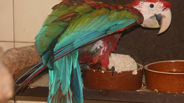 Mládě ary zelenokřídlého v hodonínské zoo