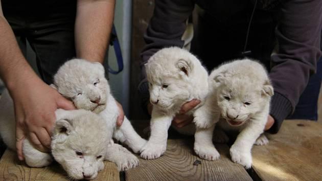Kvarteto mláďat lva jihoafrického v hodonínské zoo.