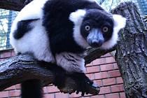 Lemuři vari žijí jen na Madagaskaru. Mají černobílý kožich, ale neexistují dva, kteří by měli stejnou kresbu skvrn.