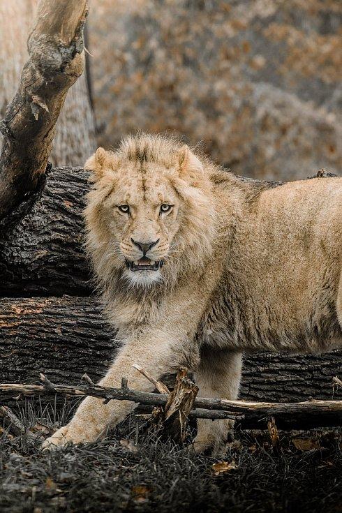Lev Akashinga odjel z brněnské zoo do Polska.