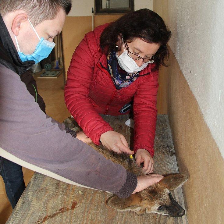 První veterinární prohlídka mláděte vlka hřivnatého v hodonínské zoo.