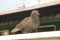 Počet holubů na hodonínském vlakovém nádraží se snížil. Dál ale trápí cestující.