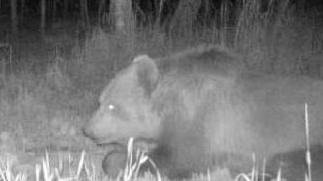 Medvěda migrujícího jižní Moravou zachytily dvě fotopasti v lesích u Bzence a i jinde.