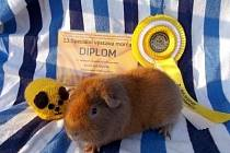 Morčata z chovu Lady Alexyové získávají na soutěžích řadu ocenění.