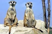 Africké šelmy surikaty.