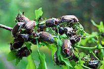 Chrousti v lese u Vracova už se bijí o poslední dubové listí, to jim chutná nejvíce.